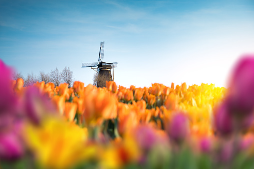 Mill「Traditional Windmill In Tulip Field」:スマホ壁紙(16)