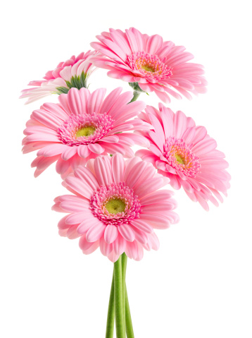 Gerbera Daisy「Pink Daisies (with Clipping Path)」:スマホ壁紙(16)