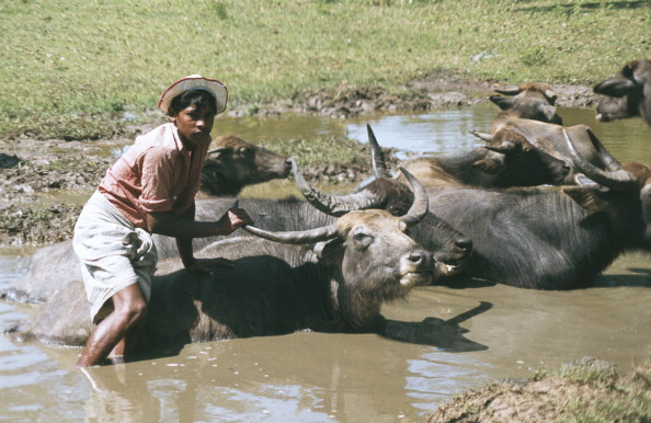 Frances M「Cattle Bathing」:写真・画像(18)[壁紙.com]