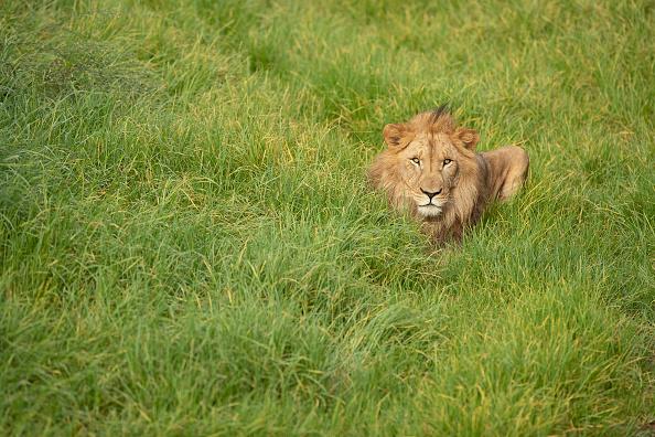 Lion - Feline「Behind The Scenes At Sydney Zoo」:写真・画像(9)[壁紙.com]