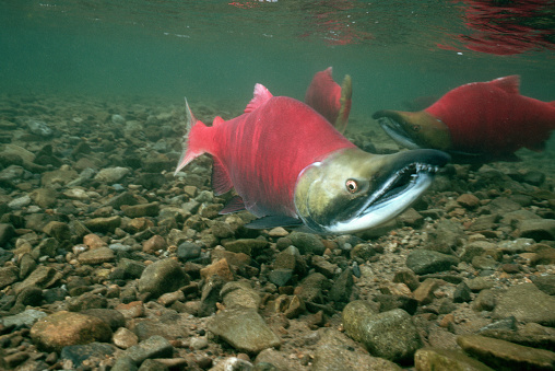 Ugliness「Male Sockeye Salmon Ready to Spawn」:スマホ壁紙(15)