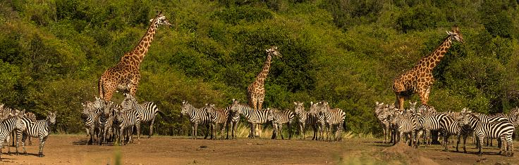キリン「giraffes with a zebra herd.」:スマホ壁紙(0)