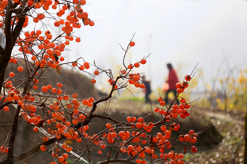Persimmon「Henan,China」:スマホ壁紙(2)