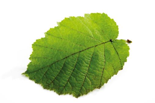 Nut - Food「Hazelnut leaf, close-up」:スマホ壁紙(14)