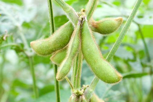 Dietary Fiber「Soybeans」:スマホ壁紙(7)