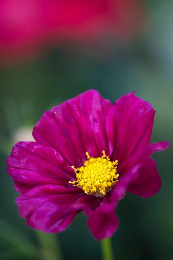 コスモス「Purple Cosmos Flower. Mexican aster」:スマホ壁紙(3)