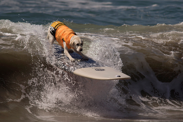 サーフィン「Hounds Hang Ten At Annual Dog Surfing Competition」:写真・画像(11)[壁紙.com]