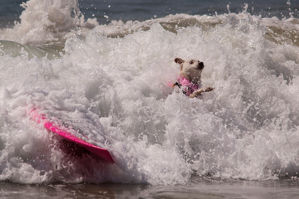 動物「Hounds Hang Ten At Annual Dog Surfing Competition」:写真・画像(6)[壁紙.com]