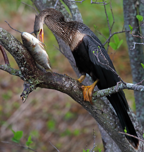 Beak「Wakodahatchee Wetlands」:写真・画像(9)[壁紙.com]