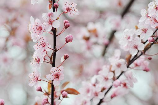 桜「Cherry Plum purple pink flowers on branch, spring.」:スマホ壁紙(0)