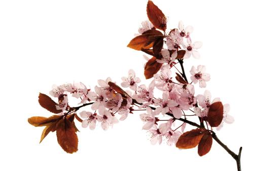 プラムの木「Cherry plum flowers, close-up」:スマホ壁紙(4)