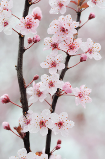 桜「Cherry Plum Purple Plum pink flowers on branch.」:スマホ壁紙(6)