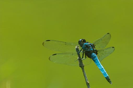 とんぼ「Widow Skimmer dragonfly (Libellula luctuosa burmeister)」:スマホ壁紙(18)