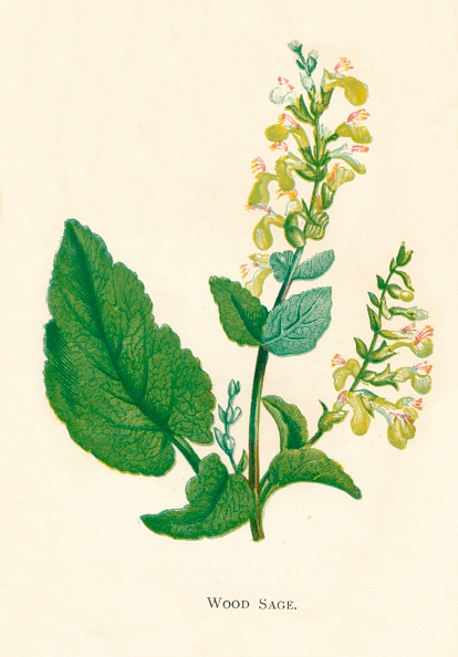 Uncultivated「Wood Sage, c1891, (1891)」:写真・画像(18)[壁紙.com]