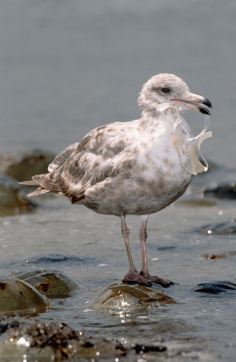 Herring Gull「Immature Herring Gull With Plastic in Beak」:スマホ壁紙(5)