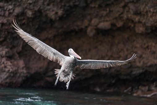 ガラパゴス諸島「ペリカン離陸、広がりの翼、ガラパゴス諸島、エクアドル」:スマホ壁紙(11)