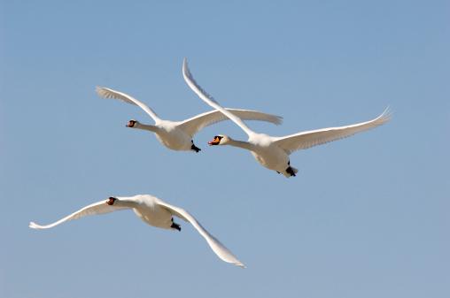 Pointing「Flying mute swans」:スマホ壁紙(15)