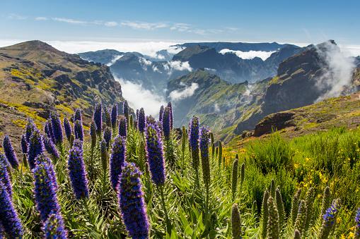 Wildflower「Pride of Madeira at Pico de Arieiro」:スマホ壁紙(5)
