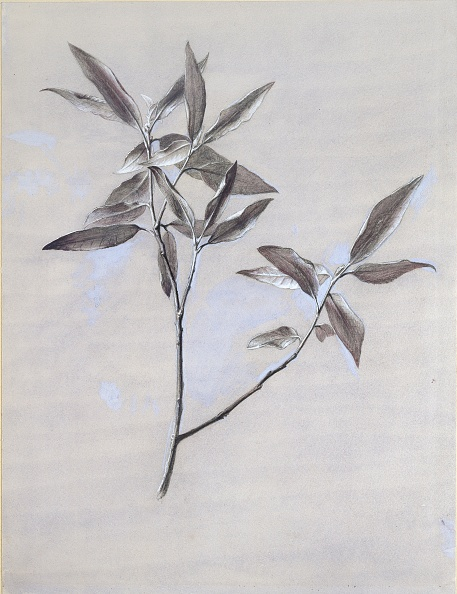 葉・植物「Under-Surface Of A Dried Spray Of Olive」:写真・画像(13)[壁紙.com]