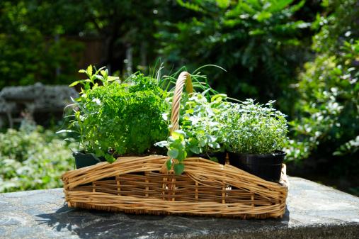 Tarragon「Basket of herbs on table on garden」:スマホ壁紙(4)