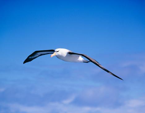 Albatross「Albatross flying in blue sky, South Pole」:スマホ壁紙(12)