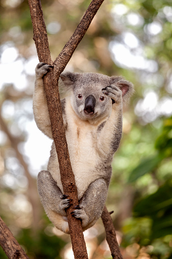 Koala「Koala in Queensland, Australia」:スマホ壁紙(7)