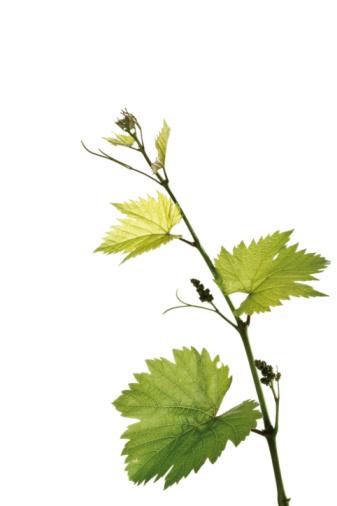 Vine - Plant「Branch from a grape vine, close-up」:スマホ壁紙(10)