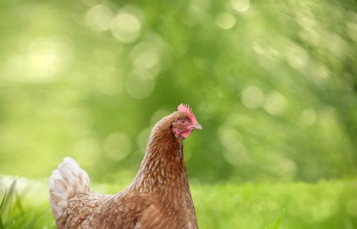 Hen「chicken」:スマホ壁紙(8)