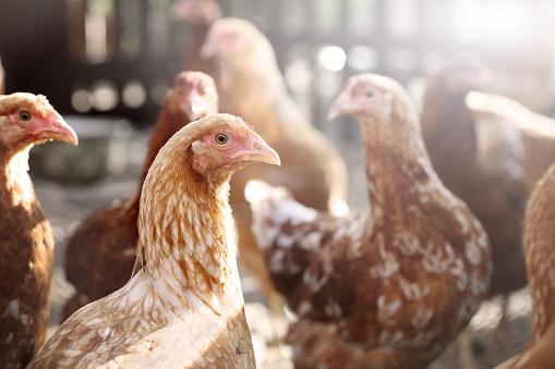 Farm「Chicken」:スマホ壁紙(16)