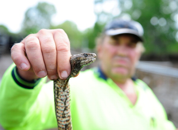 Snake「Rockhampton Residents Return As Flood Waters Recede」:写真・画像(13)[壁紙.com]