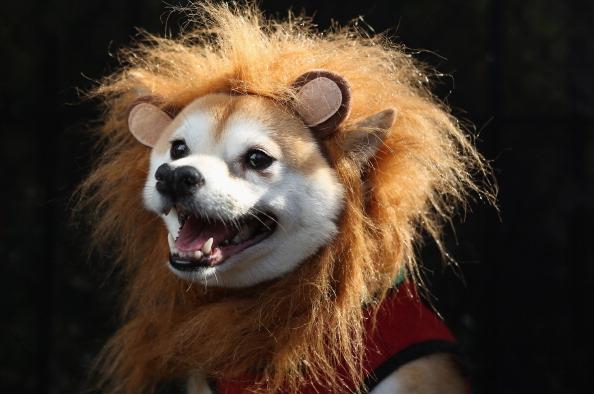動物「Dogs Dress Up For Annual Tompkins Square Park Halloween Parade」:写真・画像(17)[壁紙.com]