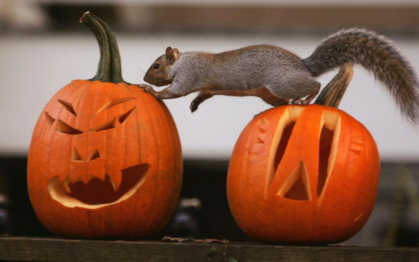 Animal「A Squirrel Stands On A Halloween Jack-O'-Lantern」:写真・画像(12)[壁紙.com]