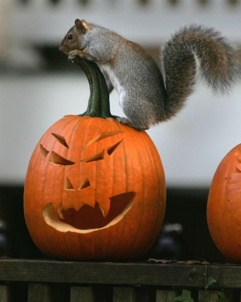 Squirrel「A Squirrel Stands On A Halloween Jack-O'-Lantern」:写真・画像(4)[壁紙.com]