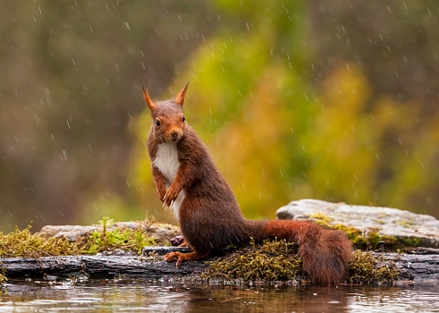 Squirrel「Squirrel standing in rain, Artica, Navarra, Spain」:スマホ壁紙(13)