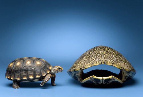 shell「Turtle looking at larger, empty shell」:スマホ壁紙(16)