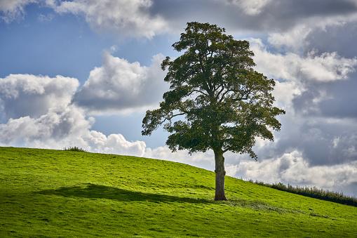 セイヨウカジカエデ「A single Sycamore Tree standing tall in a field」:スマホ壁紙(15)