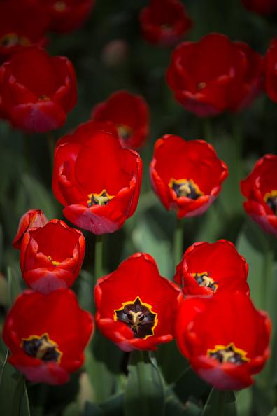 チューリップ「Istanbul Comes Alive With Colour During Its Annual Spring Tulip Festival」:写真・画像(19)[壁紙.com]