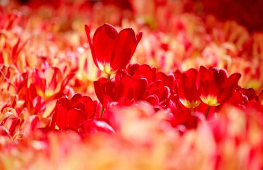 チューリップ「Tulips in backlight」:スマホ壁紙(1)