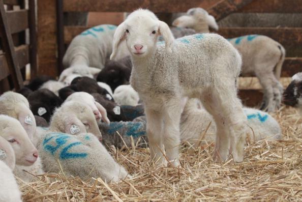 Sheep「Lambing Season Underway In Brandenburg」:写真・画像(11)[壁紙.com]