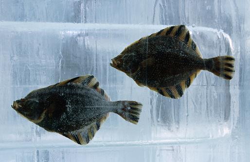 Matsuri「Pair of fish frozen in ice for the Sapporo Yuki Matsuri (snow festival)., Sapporo, Hokkaido, Japan, North-East Asia」:スマホ壁紙(8)