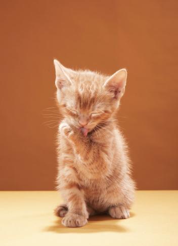 Grooming - Animal Behavior「Kitten grooming」:スマホ壁紙(5)