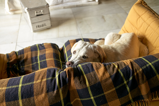 タータンチェック「Dog getting comfortable on a couch looking into camera」:スマホ壁紙(9)