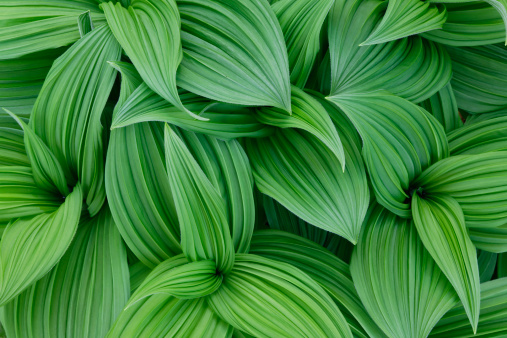Green Color「False hellebore pattern, Veratrum californicum」:スマホ壁紙(17)