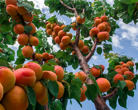 Apricot Tree「apricot tree and sky」:スマホ壁紙(3)