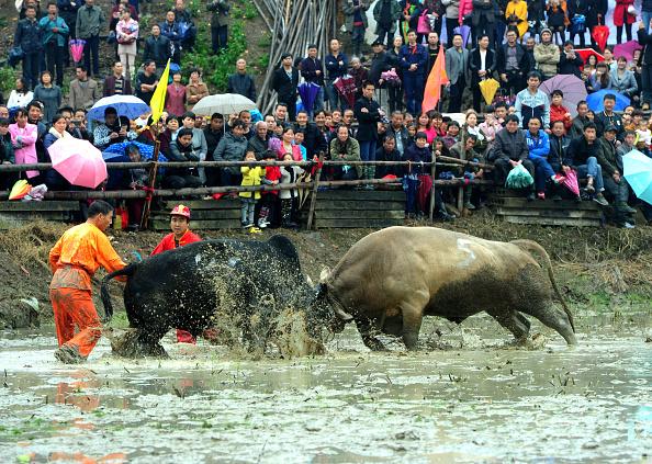 動物「Bull Fighting To Pray For Harvest In Wuyi」:写真・画像(0)[壁紙.com]