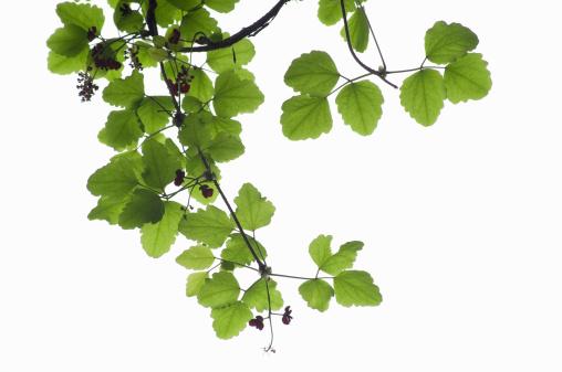 Akebia「Young leaves and flowers of akebi」:スマホ壁紙(1)
