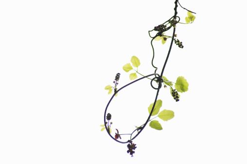 Akebia「Young leaves and flowers of akebi」:スマホ壁紙(0)