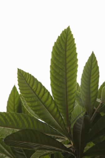 かまくら「Young leaves of loquat」:スマホ壁紙(13)