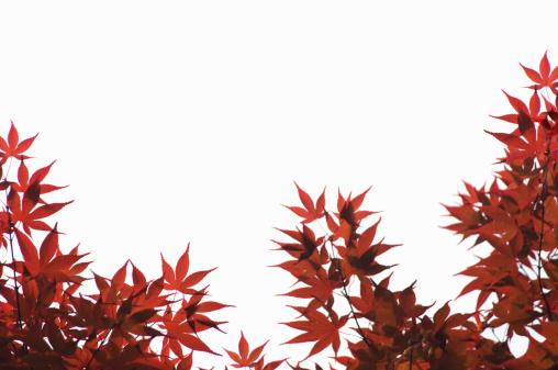 紅葉「Young leaves of maple tree」:スマホ壁紙(16)