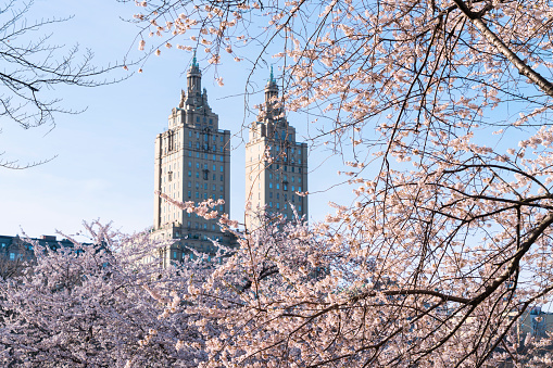 Cherry Blossom「The San Remo twin tower stands behind the full-bloomed Cherry blossoms trees in Central Park at New York City.」:スマホ壁紙(12)